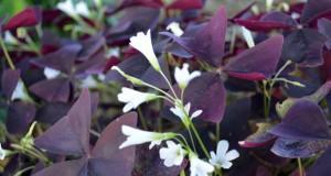 Виолетова детелина – Oxalis regnellii