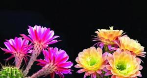 Кактуси – еasy care собни растенија