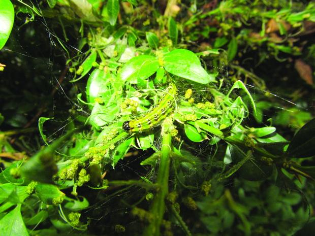 larva na simsirov molec