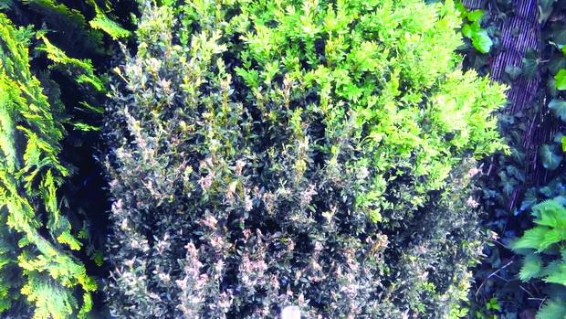 susenje na zelenika od simsirov molec