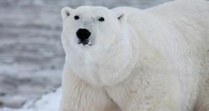 Влакната од поларните мечки како инспирација за топлотна изолација
