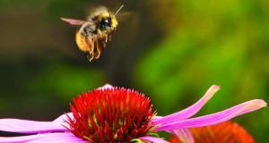 Спасот за пчелите е во цветните градини