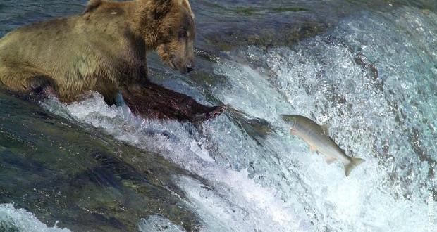 Климатска криза: Водата на Алјаска е толку топла што умираат лососи