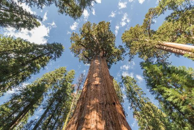 Највисокото дрво во светот е во Калифорнија