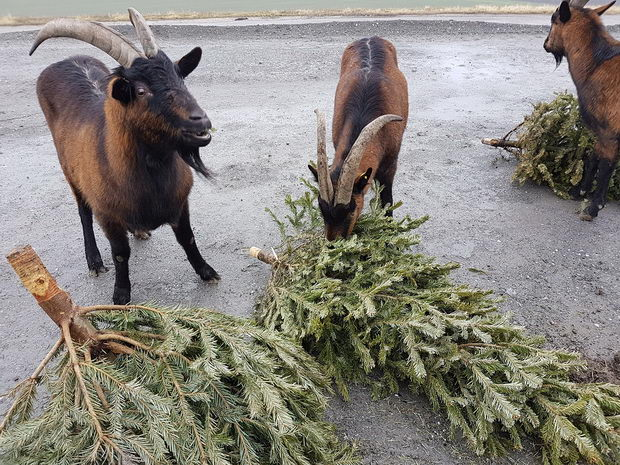 MA 48-Christbaumsammlung - Festmahl für Ziegen auf der Deponie Rautenweg