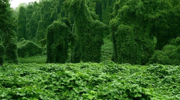 Кудзу, растение кое јаде се пред себе