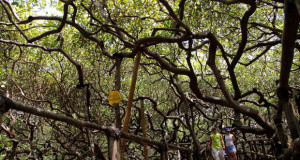 Едно стебло е цела шума, најголем индиски орев на светот (видео)