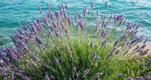 Лаванда – внесете мирис на Медитеранот во својот дом
