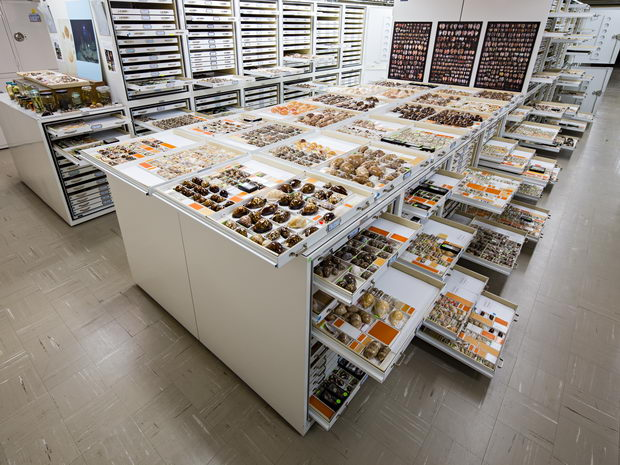 Department of Invertebrate Zoology Cowrie Collection