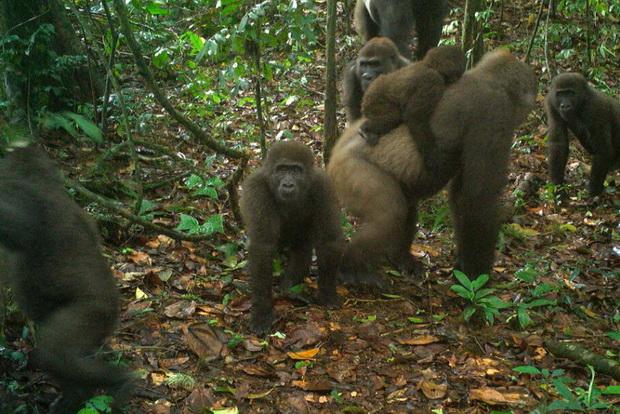 Редок вид горили Крос Ривер не изумреле, ги населуваат планините во Нигерија и Камерун