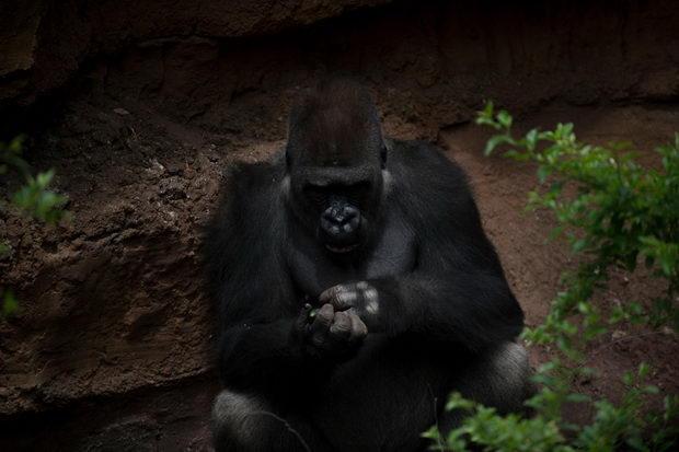 gorili
