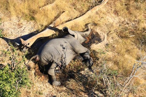 Катастрофално масовно умирање на слонови во Боцвана