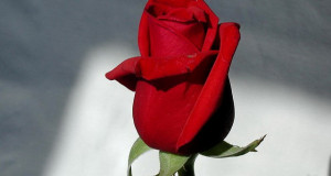 Кое е најубавото цвеќе на светот?