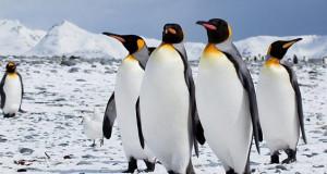 Охрабрувачки вести – царски пингвини сепак има повеќе