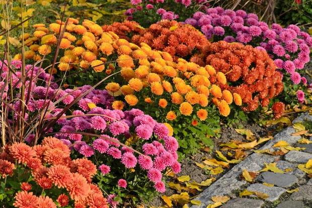 Хризантеми за што пошарена есен