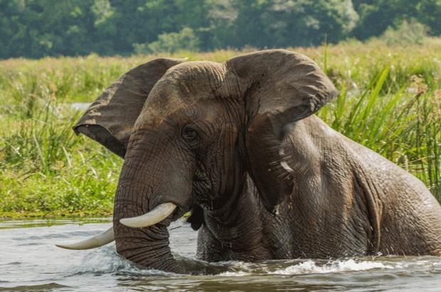 Во Зимбабве пронајдени 12 мртви слонови, се сомнева на бактерија