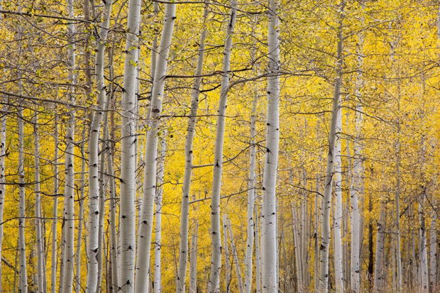 Tranquil yellow autumn birch trees