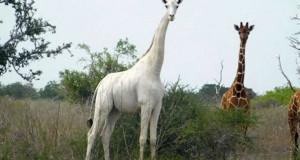 Единствената бела жирафа на светот е чипирана