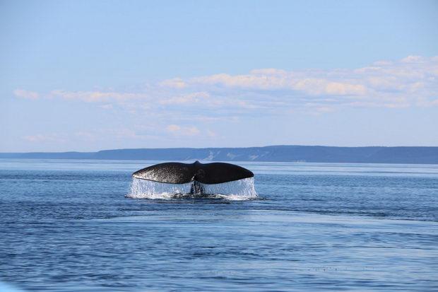 Китовите се важна алка во борбата против климатските промени