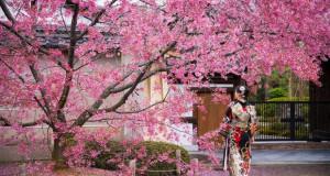 Цветовите на црешата во Кјото процветаа најрано досега