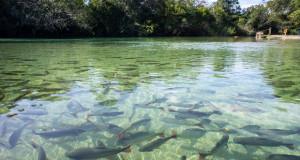 На една третина од слатководните риби им се заканува истребување