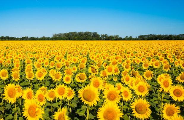 Фотографии поради кои во овој момент би легнале во поле со сончогледи