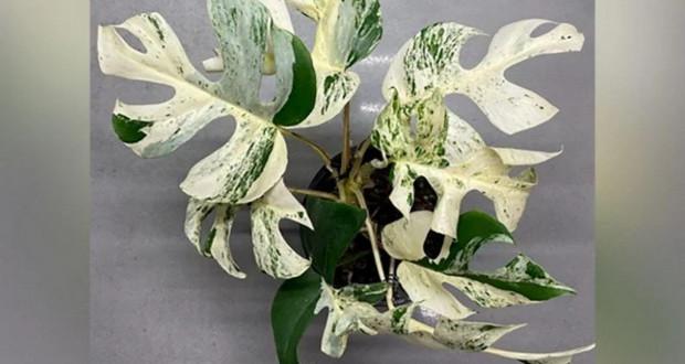 Најскапо домашно растение – продадено за 20.000 долари