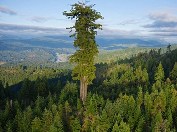 Дали знаете колку е високо највисокото дрво на светот?