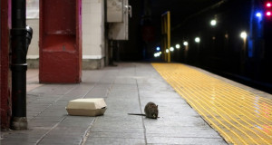 Цели колонии на стаорци живеат во метрото во Њујорк